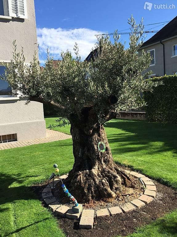 winterharter bonsai olivenbaum ca 300 jahre alt in. Black Bedroom Furniture Sets. Home Design Ideas