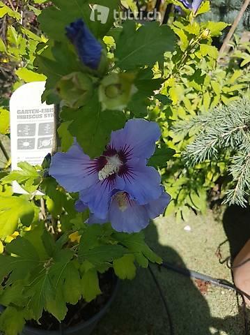 Gartenhibiskus/Hibiscus Syriacus Bleu,  verschiedene Grössen