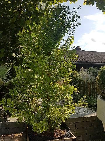 Ginkgo biloba 'Tit'/Kompakter Fächerblattbaum 225-250m