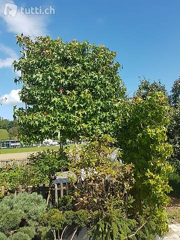 Amberbaum (Liquidambar styraciflua) Hochstamm/Sichtschutz