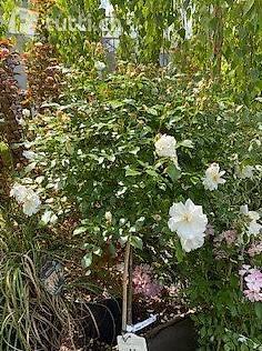 Rosen, Kleinstrauchrosen, englische Rosen