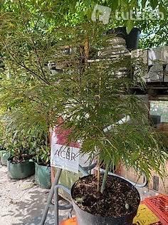 Dunkelroter Schlitzahorn 'Garnet' Acer palmatum 'Garnet'