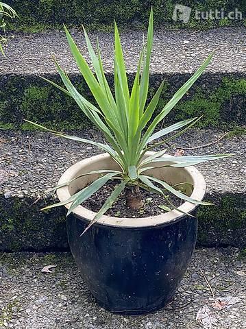Yucca Gloriosa 55cm (Stamm bildend & winterhart)