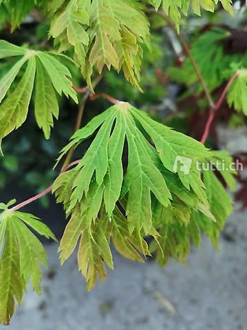 Acer japonicum 'Aconitifolium' Japanischer Ahorn