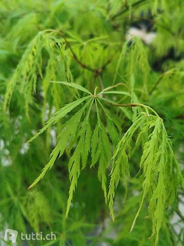 Grüner Schlitzahorn 'Dissectum' Acer palmatum 'Dissectum'