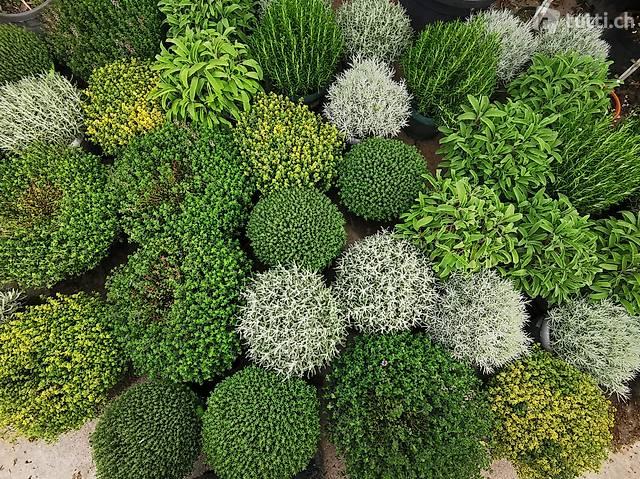 Diverse Kräuter/Gewürzpflanzen, Topfdurchmesser 20cm