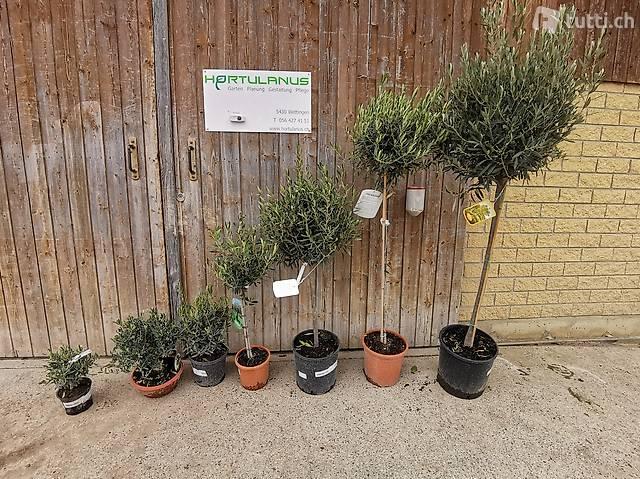 Olivenbäumchen, Olea europaea