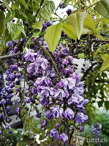 Blauregen Wisteria sinensis/ Wysteria Schirm