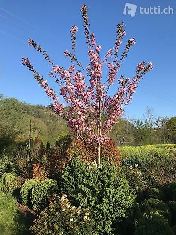 Nelkenkirsche, JAPANISCHE KIRSCHE, Prunus serrulata 'Kanzan'