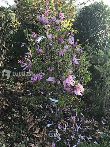 Purpur-Magnolie, Magnolia liliiflora 'Susan', Ziergehölz