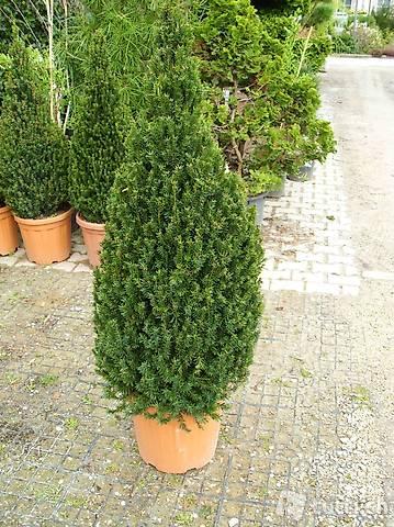 männliche Bechereibe Taxus media hillii 80-100cm