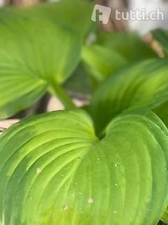 Funkien, Hosta Pflanzen, Blattschmuckstauden