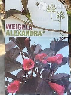 Weigelie 'Alexandra/ Zwerg-Weigelie