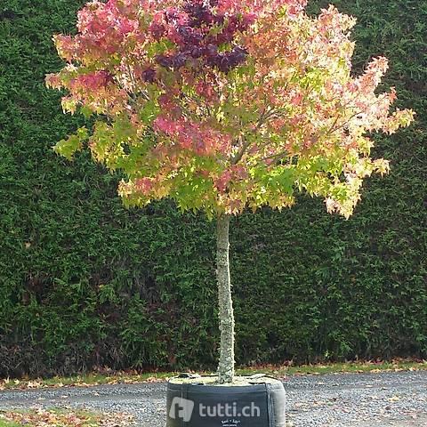 Amberbaum (Liquidambar styraciflua) 'GumBall' Stammhöhe 70cm