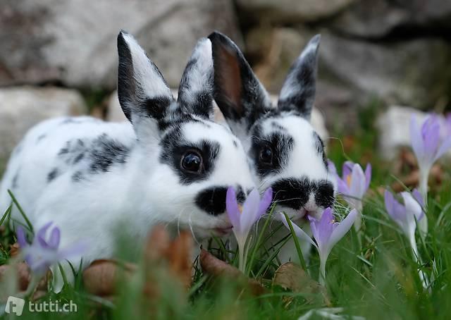 Mini Rex Kaninchen zum Liebhaben
